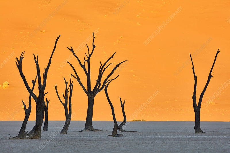 Bare trees in front of a sand dune