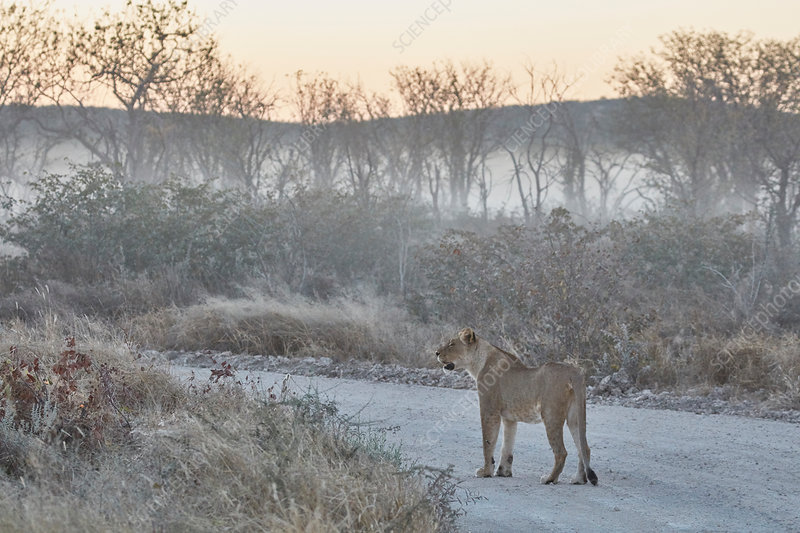 Lion walking along road