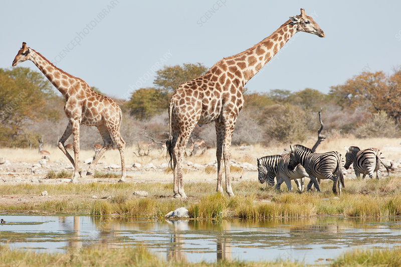 Angolan giraffes and zebra by water