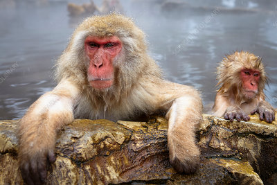 Two Japanese Macaque, Snow Monkeys