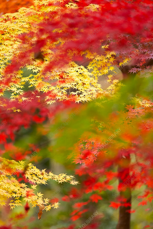 Yellow and red foliage on maple trees