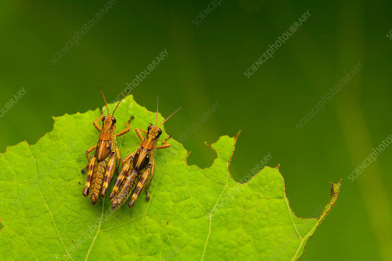 Brown crickets, insects on a leaf