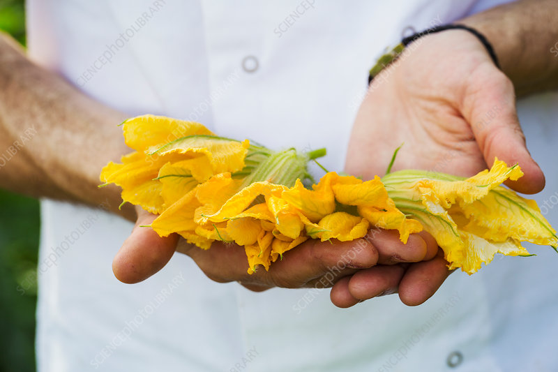 Person holding edible courgette flowers