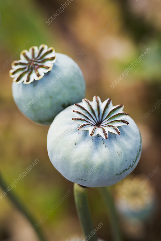 Close Up Of Poppy Seed Pods In A Garden Stock Image F020 4623