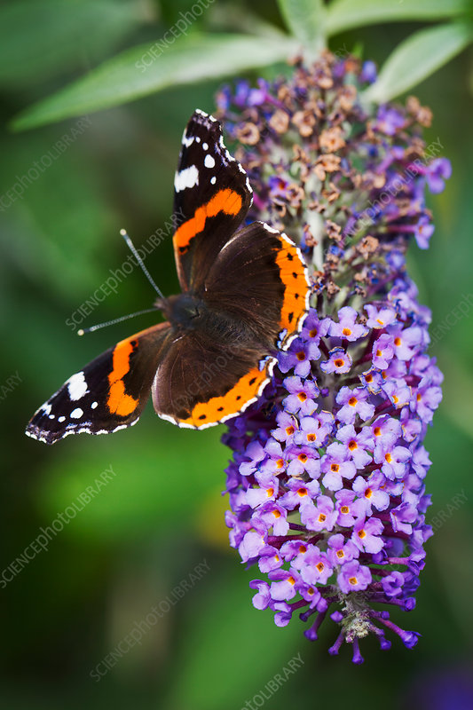 Close up of Admiral butterfly on lilac