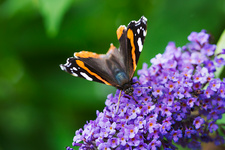 Admiral butterfly on a lilac flower