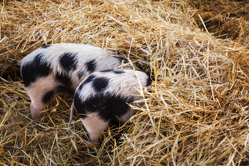 Two Old Spot pigs, head down in straw