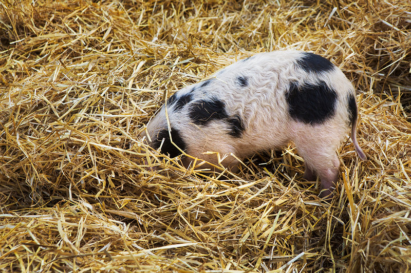 Gloucester Old Spot pig rooting in straw