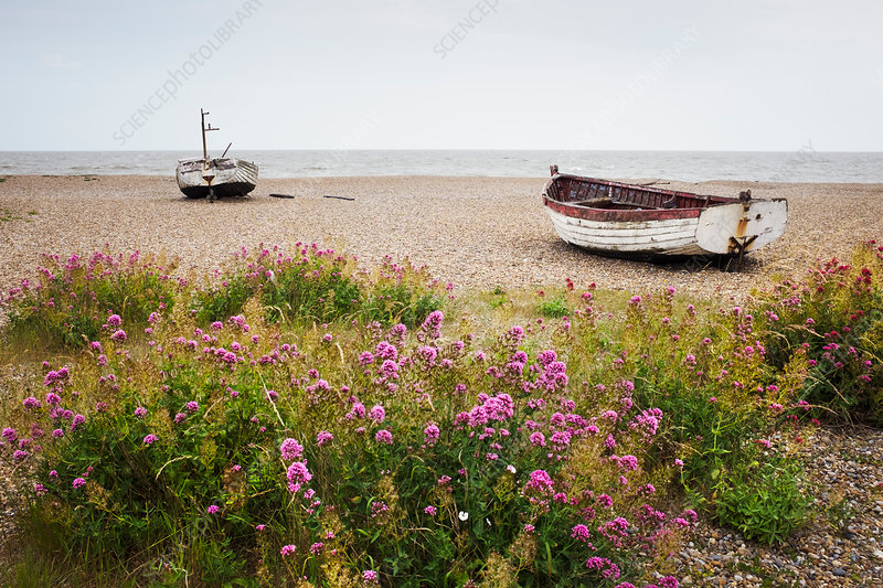 Red Valerian growing on beach