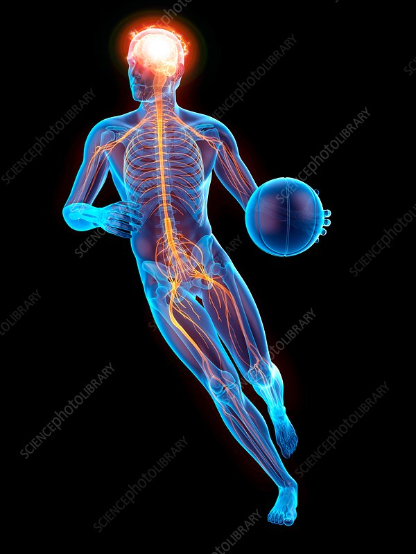 Person playing basketball, nervous system, illustration