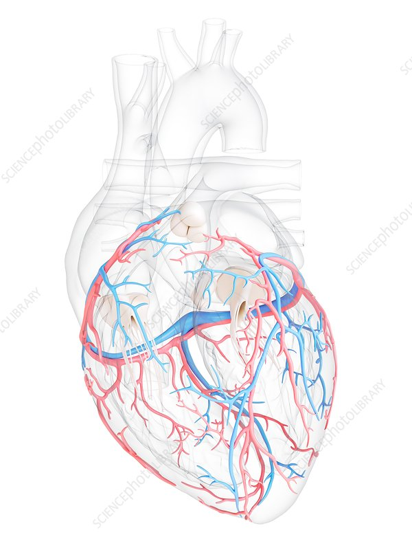 Human heart coronary blood vessels, illustration