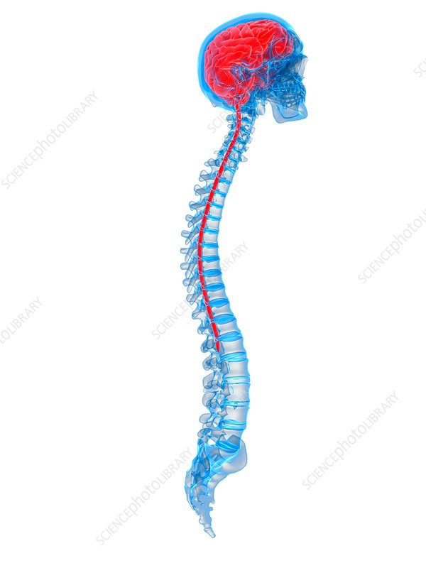 Human brain and spine, illustration