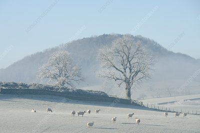 Herd of sheep in frosty field, The Lake District, UK