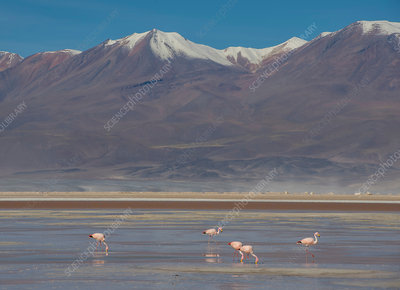 Flamingos by mountain, Calama, Antofagasta, Chile