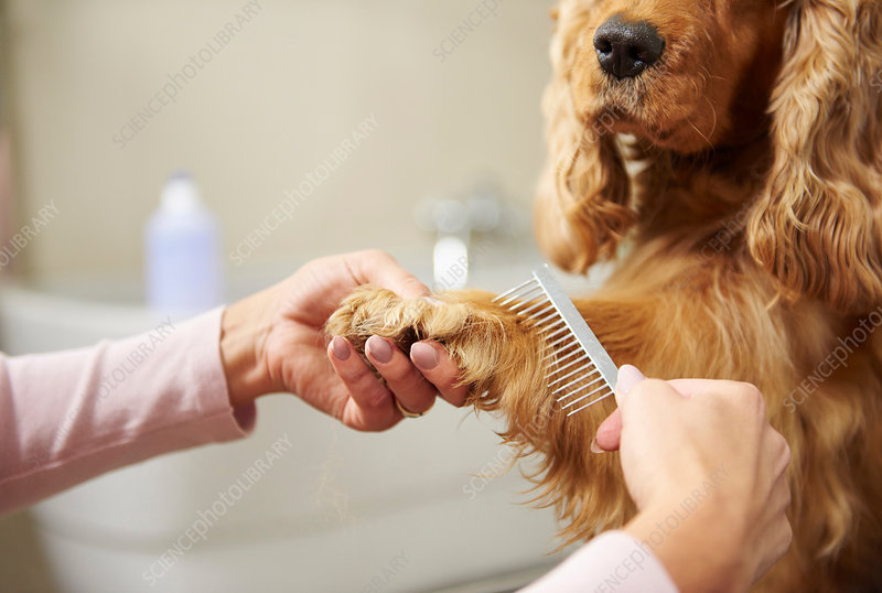 Hands of groomer combing cocker spaniel's paw