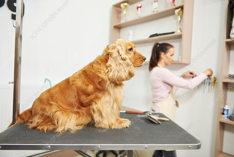 Cocker spaniel sitting on table at dog grooming salon