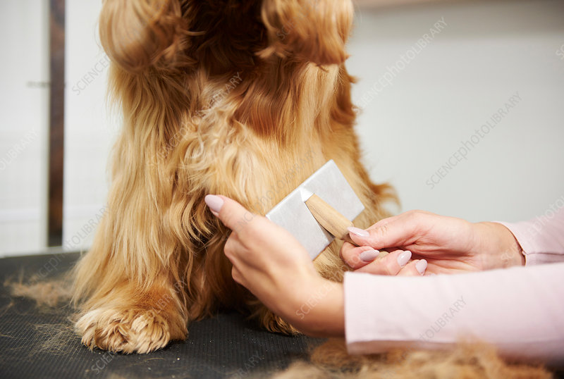 Hands of groomer brushing cocker spaniel