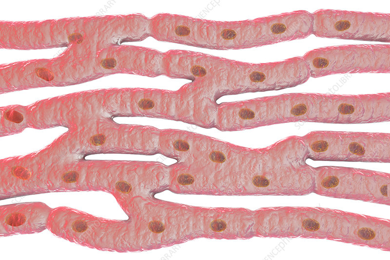 Heart muscle structure, illustration