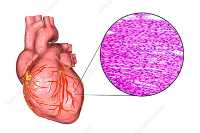Human heart and cardiac muscle, composite image
