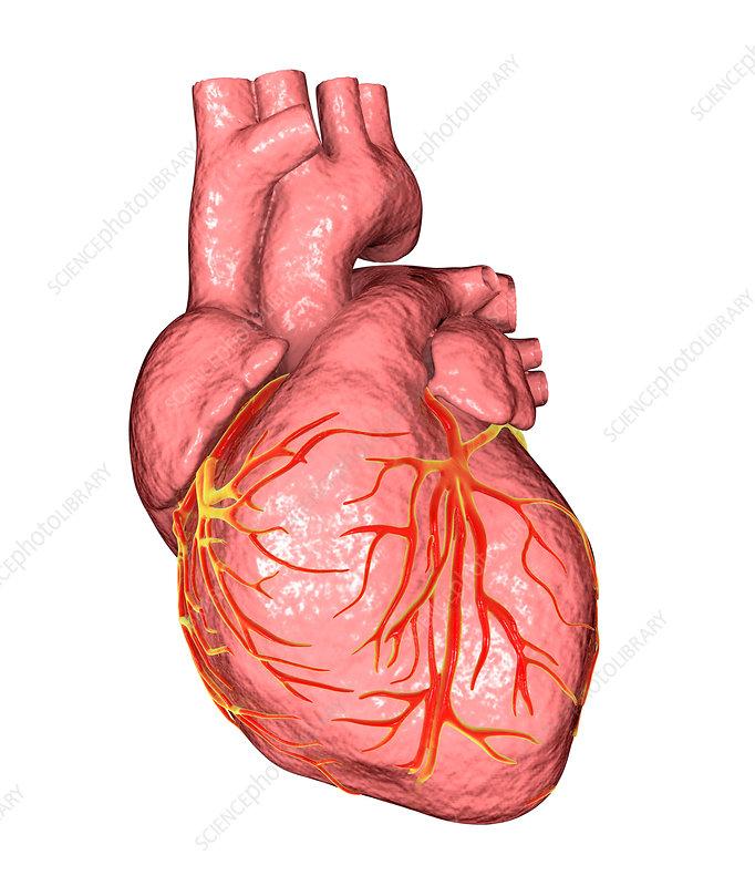 Human heart, anatomical illustration - Stock Image F020/9519 ...