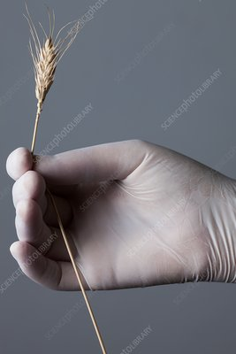Person holding wheat