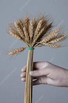 Person holding bunch of wheat