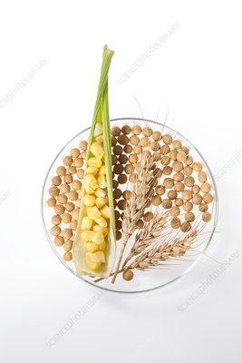 Soy beans, wheat and corn in petri dish