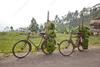 Two bicycles with bunches of bananas, Burundi, Africa