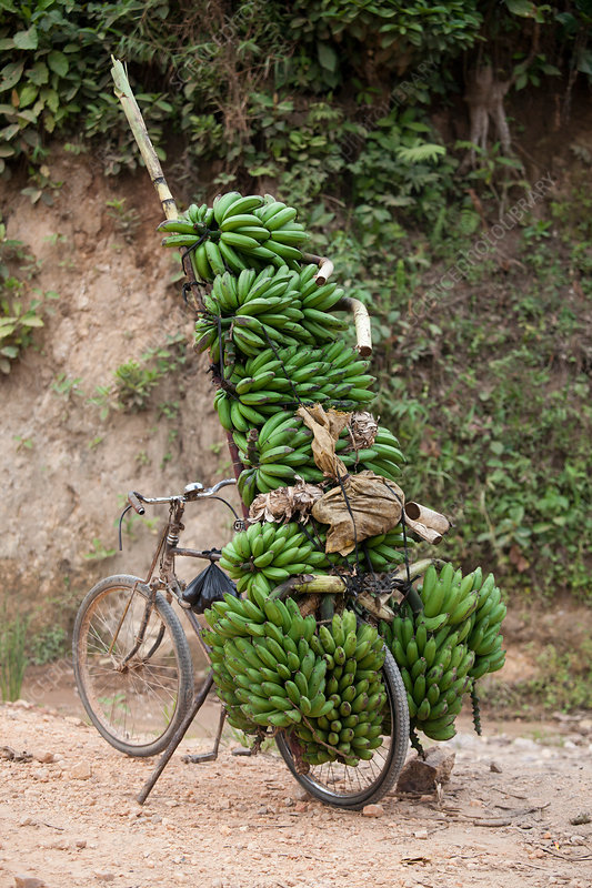 Bicycle with bunches of bananas, Burundi, Africa