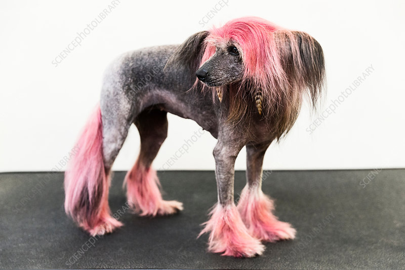 Animal portrait of groomed dog with dyed shaved fur
