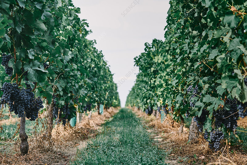 Bunches of black grapes on vineyard grapevines, France