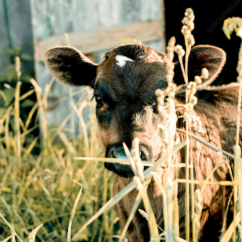 Calf among long grass