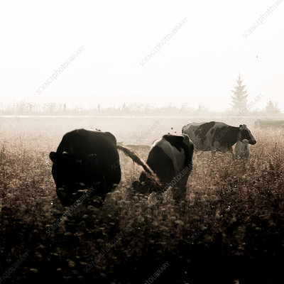 Cows grazing in meadow, Ural, Sverdlovsk, Russia, Europe