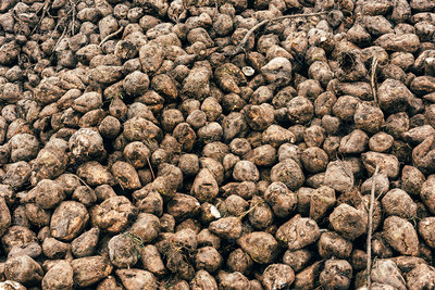 Harvested sugar beet pile