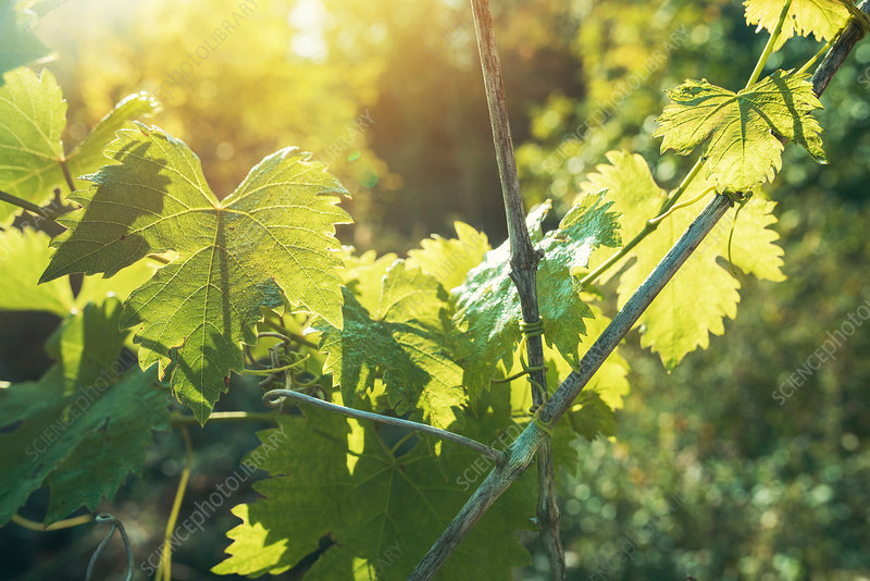 Grapevine leaves in vineyard
