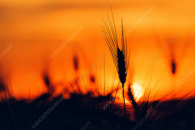Silhouette of wheat field at sunset
