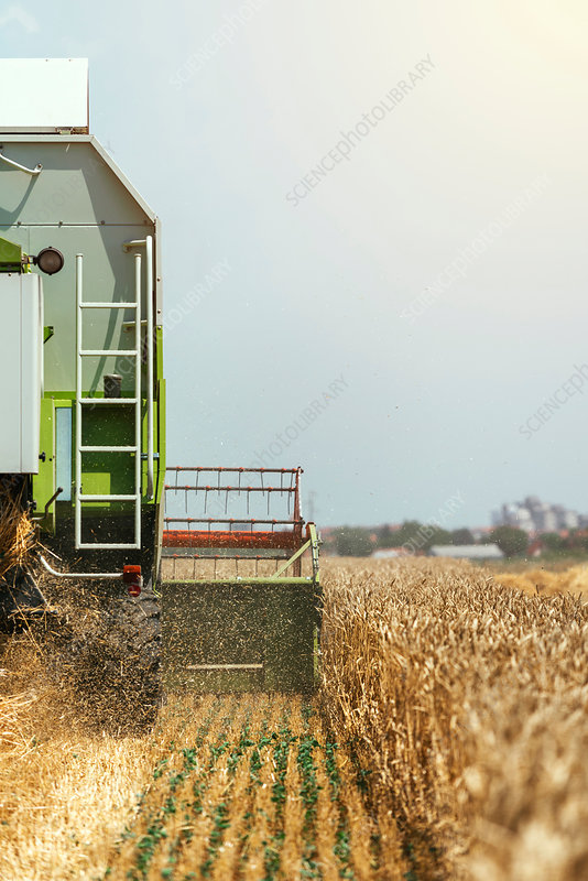 Combine harvester harvesting wheat crop