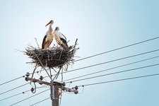 Pair of white storks on nest