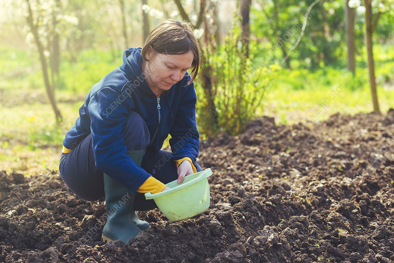 Woman sowing onions in organic vegetable garden