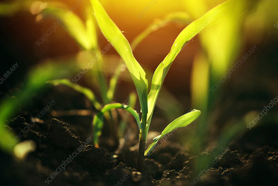 Corn seedlings in soil