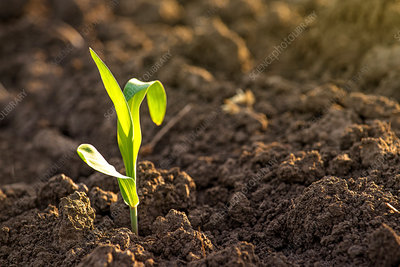 Corn seedling in soil