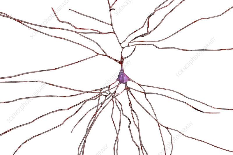 Nerve cells, computer illustration