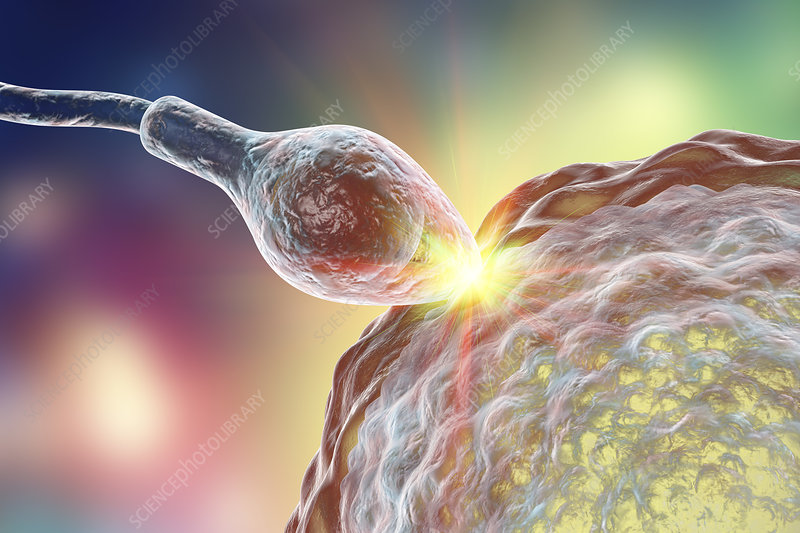 Sperm fertilizing egg, illustration