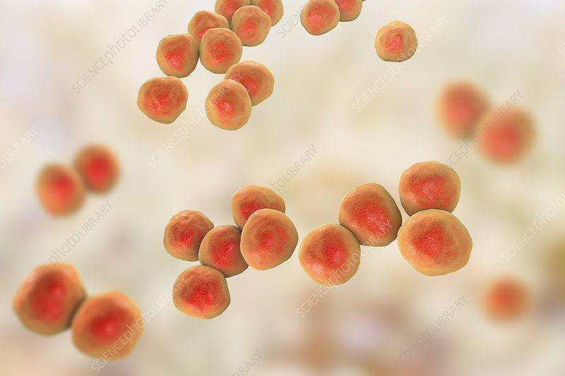 Veillonella bacteria, illustration