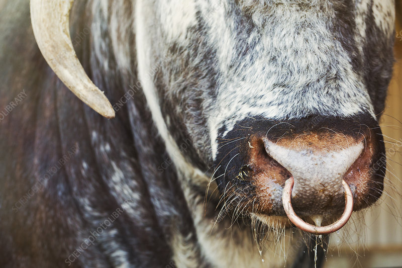 English Longhorn Bull With Nose Ring Stock Image F0212377