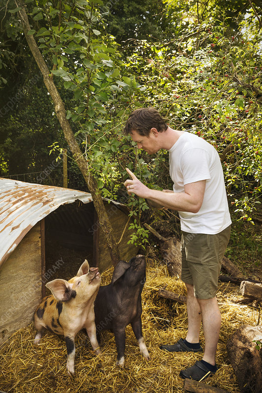 Man training two pigs to sit outside pigsty, raised finger