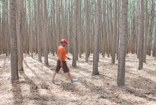 Man walking among poplar trees, Oregon, USA