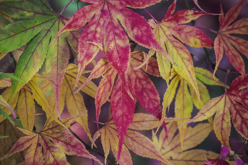 Japanese maple (Acer palmatum) autumn foliage