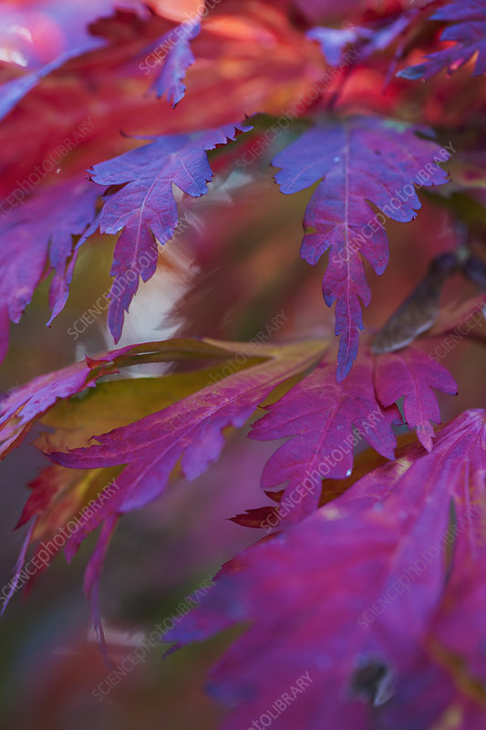 Japanese maple (Acer palmatum) autumn foliage