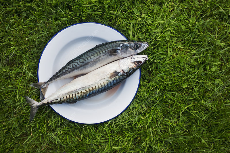 Plate with two gutted fresh mackerel